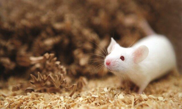 موفقیت محققان کشور در فراوری موش های هموفیلی، کوشش برای توسعه روش های ژن درمانی